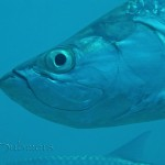 Atlantic tarpon (Megalops atlanticus) 3