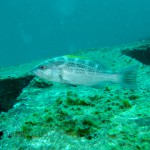 Yellowmouth grouper (Mycteroperca interstitialis)