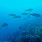 Yellowtail snapper (Ocyurus chrysurus) 1
