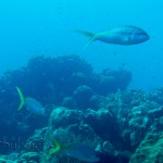 Yellowtail snapper (Ocyurus chrysurus) 2